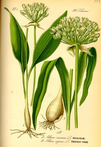 Allium_ursinum0