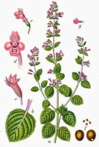 Clinopodium nepeta subsp. sylvaticum (Bromf.) Peruzzi & F. Conti