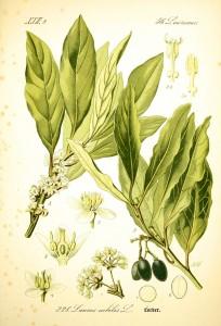 Laurus nobilis2