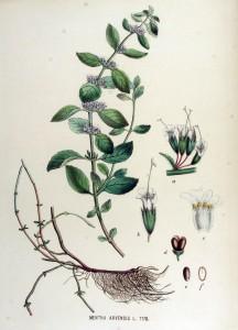 Mentha_arvensis_—_Flora_Batava_—_Volume_v15