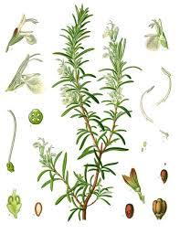 Rosmarinum officinalis