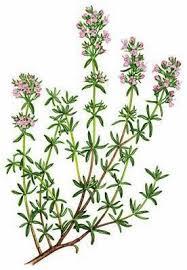 Thymus capitatus