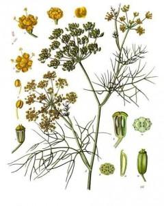 foeniculum_vulgare_-_kocc88hlere28093s_medizinal-pflanzen-148
