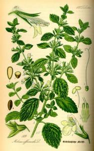 melissa officinalis2