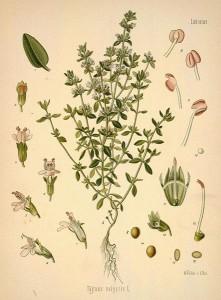 thymus vulgaris-l