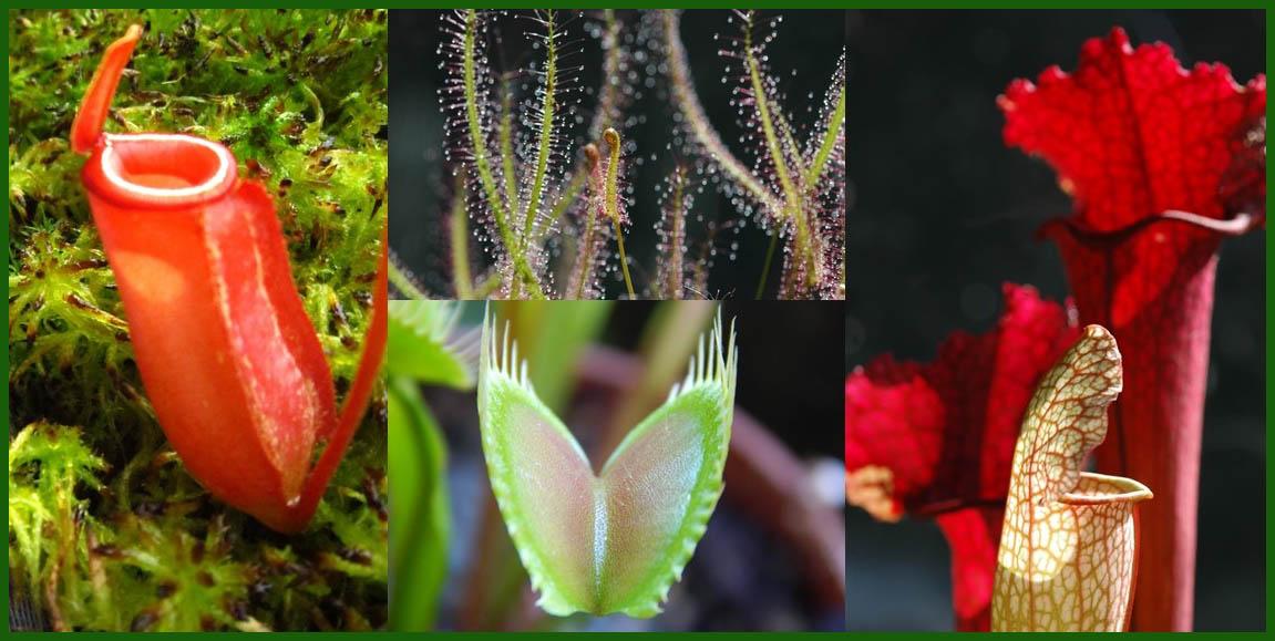 La collezione di piante carnivore orto botanico for Piante carnivore prezzi