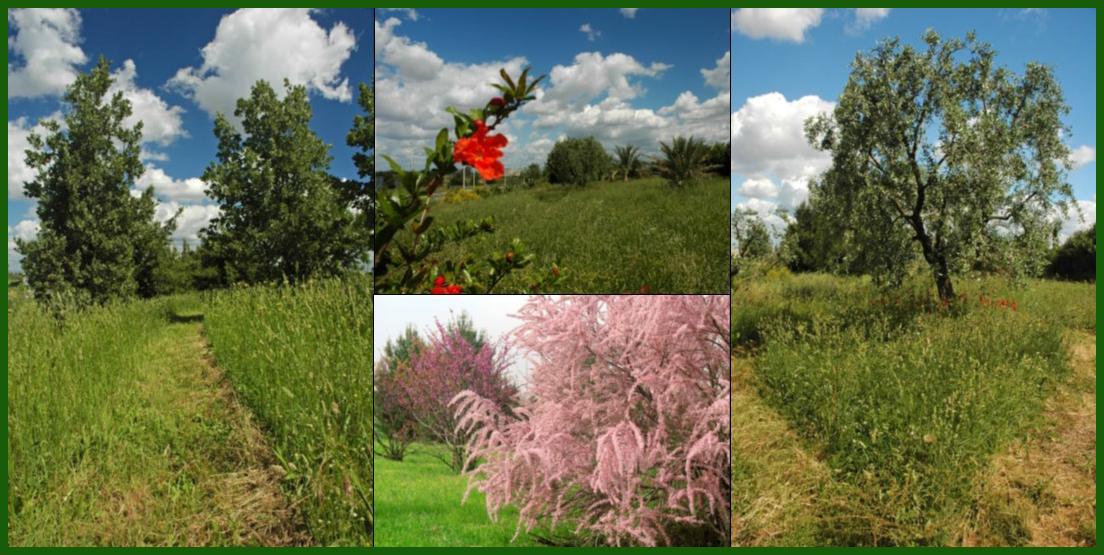 Piante Ulivo Prezzi : Il giardino biblico « orto botanico