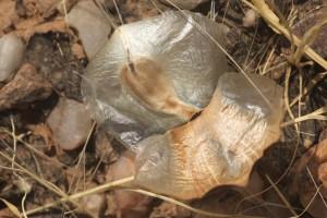 Welwitschia_mirabilis44