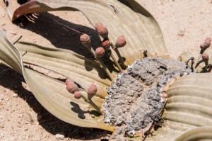 plantas-estranhas-os-incriveis-welwitschia-mirabilis3