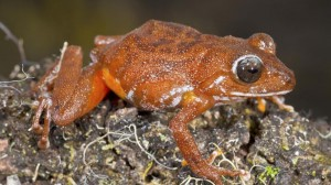 Pristimantis_jamescameroni by Philip J. R. Kok-6036-kStC-U11004294035674D7C-1024x576@LaStampa.it