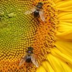 1519134827799_Bees_on_sunflowerQUAD